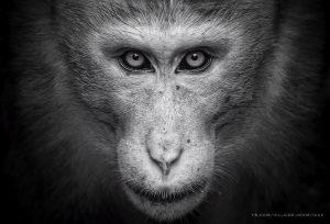macaque, monkey, srilanka, wildlife